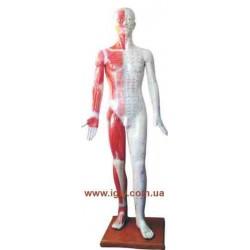Модель тела мужчины 178 см